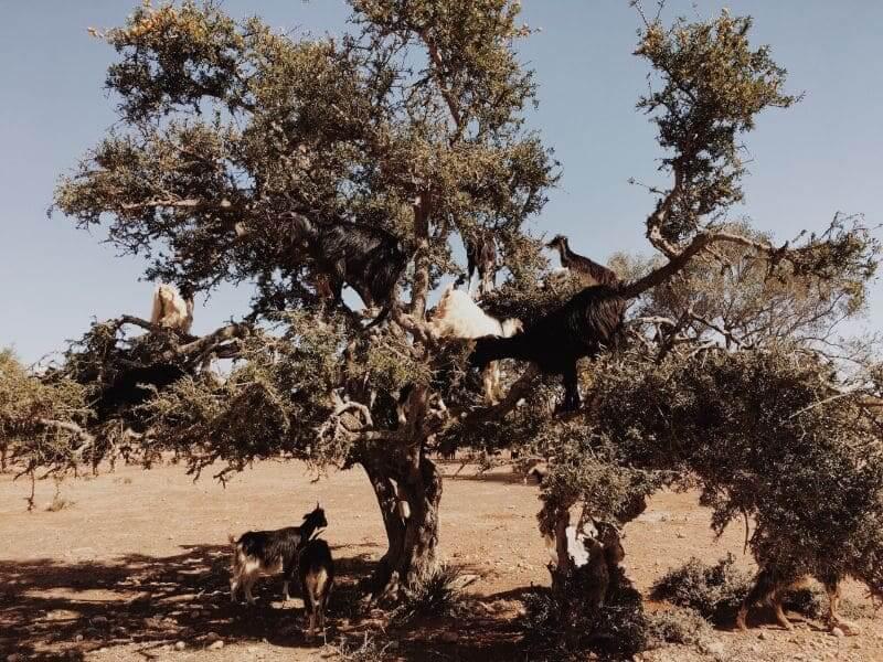 goats tree morocco